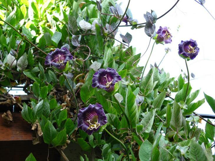 Цветок Кобея