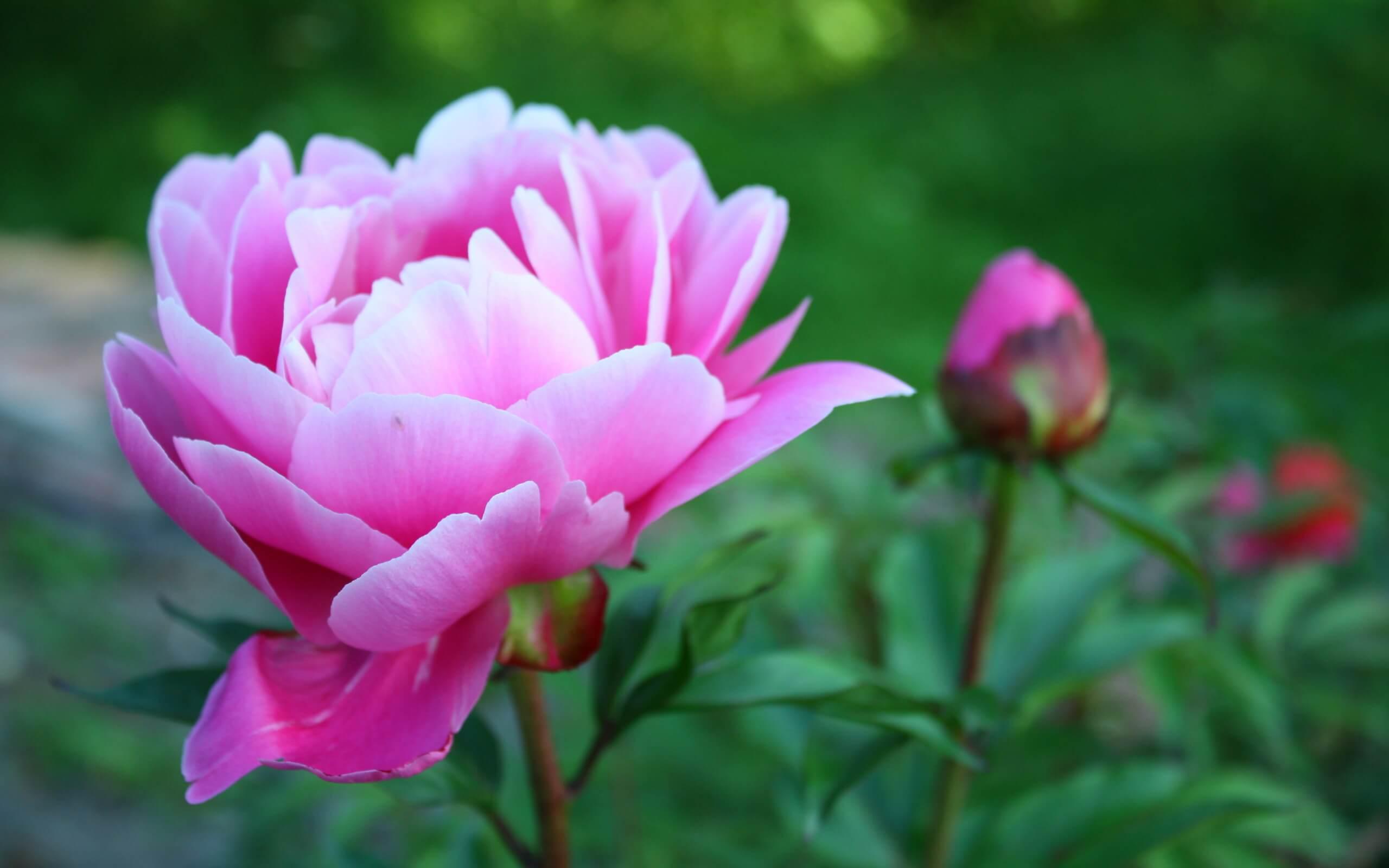 Древовидный пион — основные рекомендации по выбору сорта, уходу, посадке