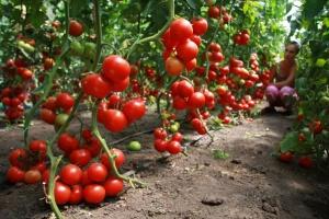Богатый урожай томатов