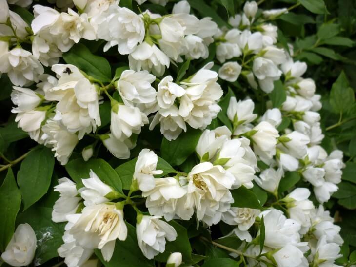 Здоровые соцветия чубушника