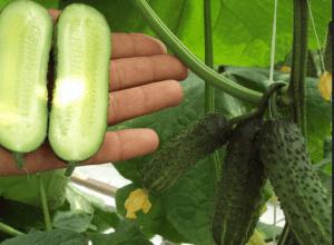 Здоровый урожай огурцов