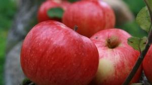 Яблоки, выращенный из семян