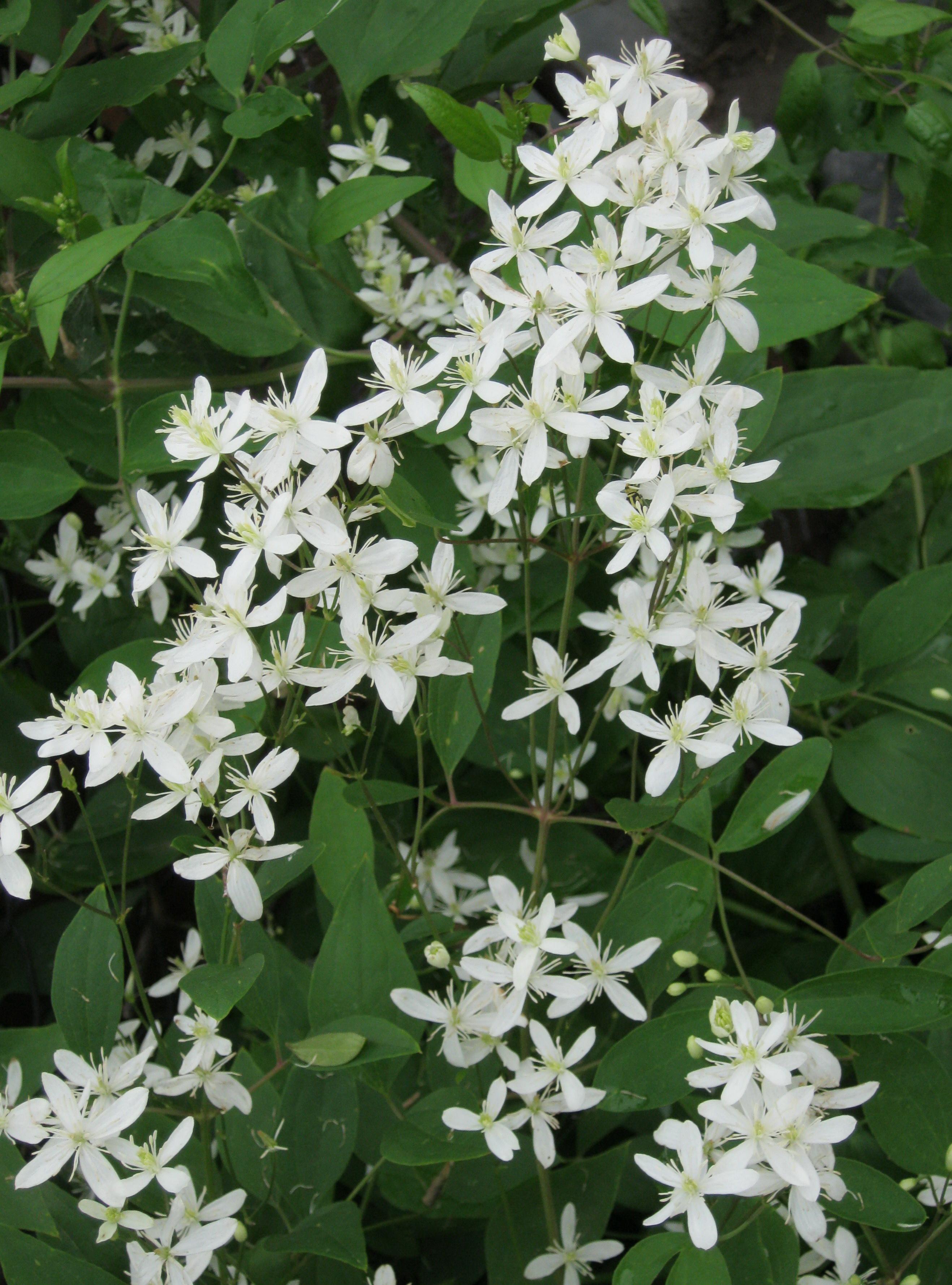 Клематис виноградолистный — основной уход и размножение