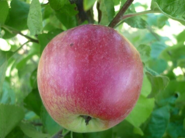 Урожай яблони штрифель