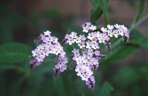 Растение гелиотроп (лат. Heliotropium)