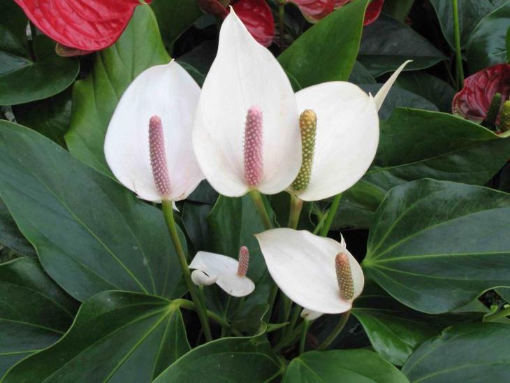 Лат. Spathiphyllum