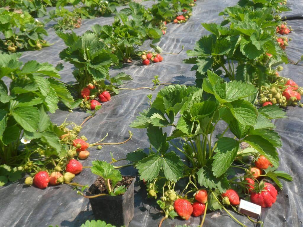 Выращивание клубники — агротехника и общие рекомендации