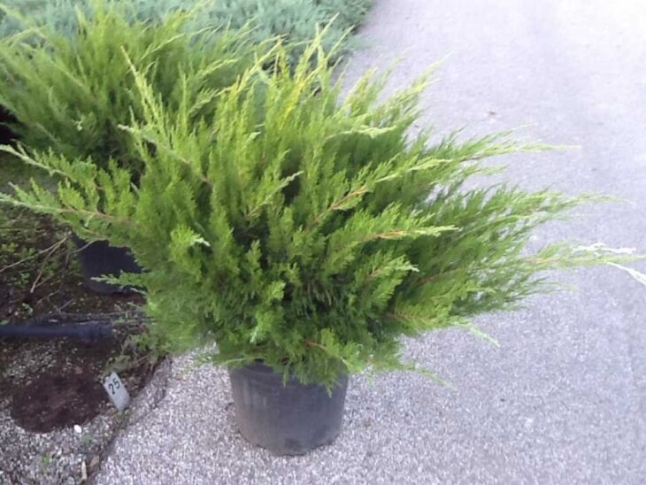 Лат. Juníperus