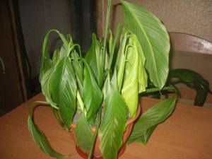 Слегка пожелтевшие листья спатифиллума
