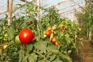 Посадка томатов с доступом с обеих сторон