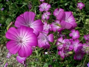 Пышное цветение циноглоссума
