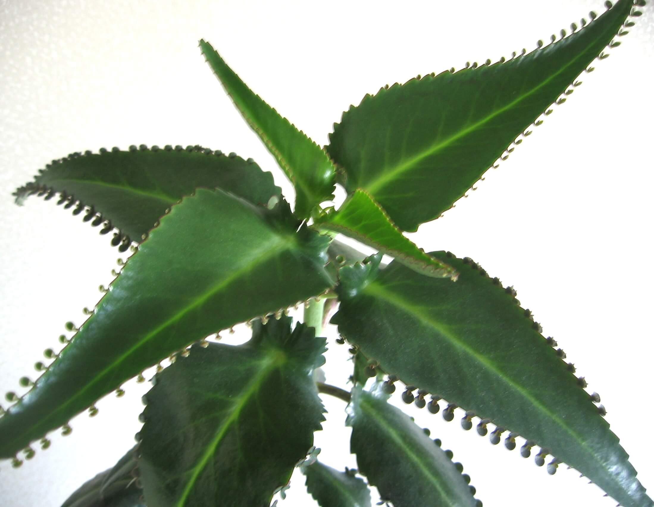 Каланхоэ — как поливать это лекарственное растение из семейства толстянковых