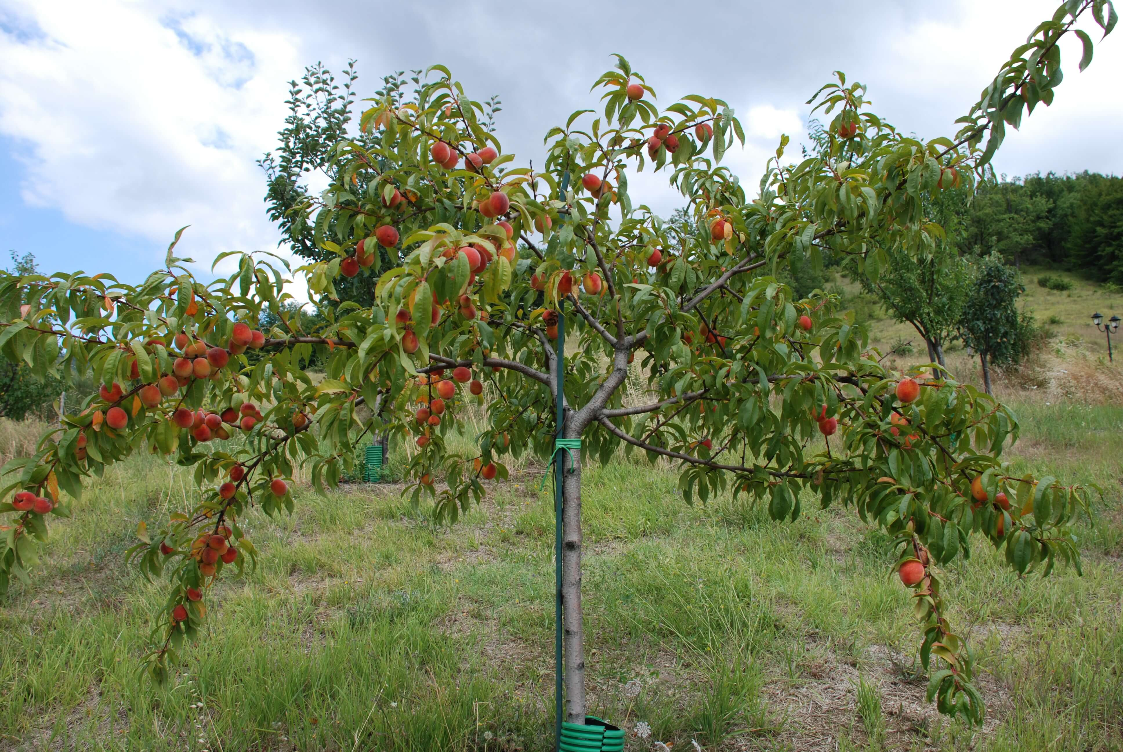 Обрезка абрикоса осенью — основные рекомендации