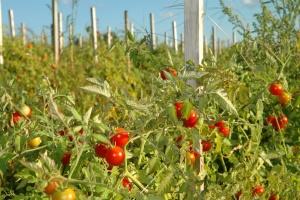 Посадка томатов на большой территории