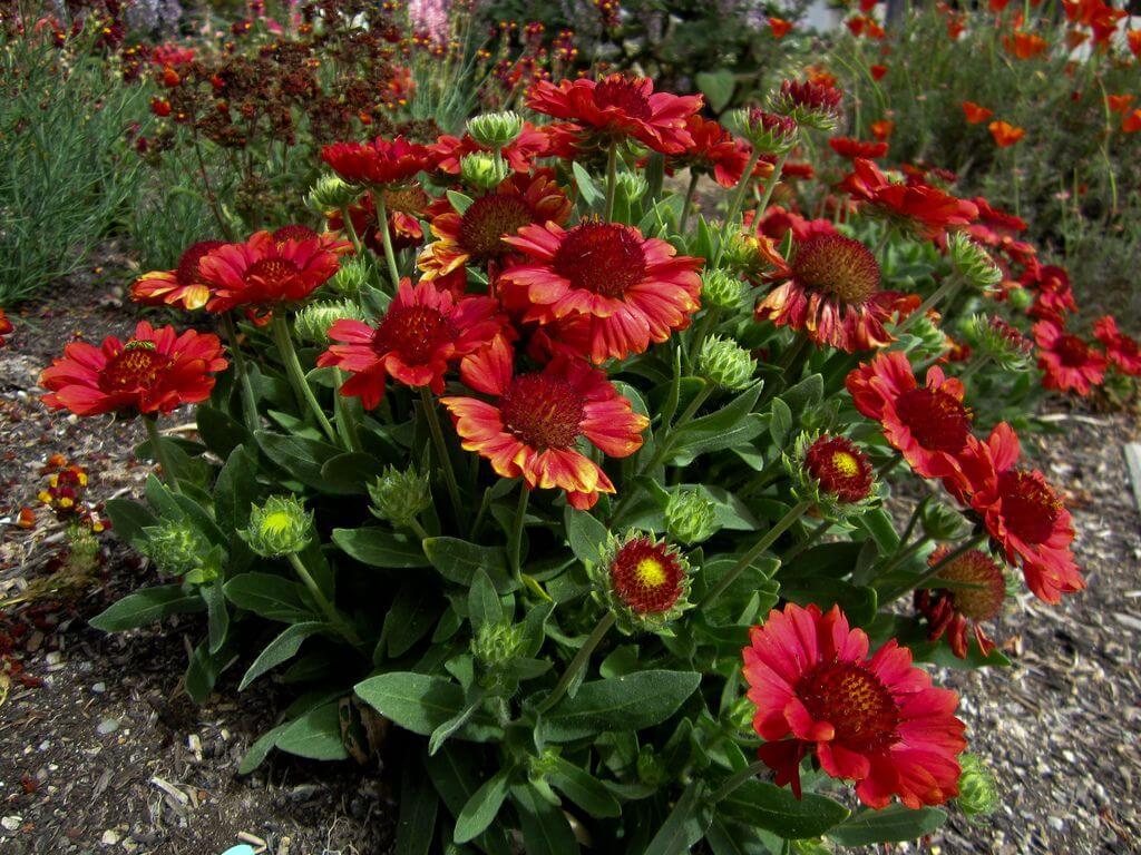 Пламенеющие угольки клумбы — цветок гайлардия, посадка и уход