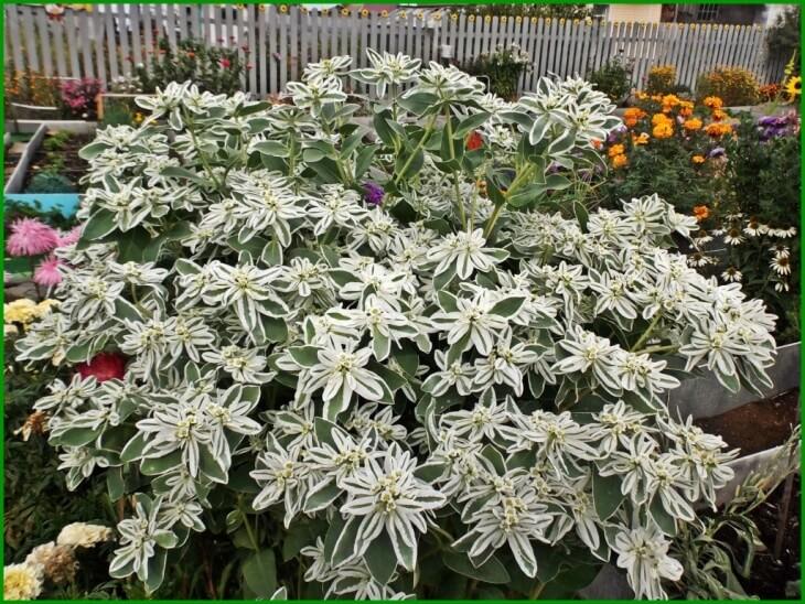 Лат. Euphorbia