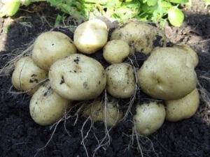 Клубнеплоды, картофель