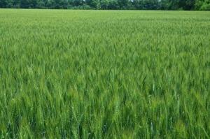 Поле с зерновой культурой