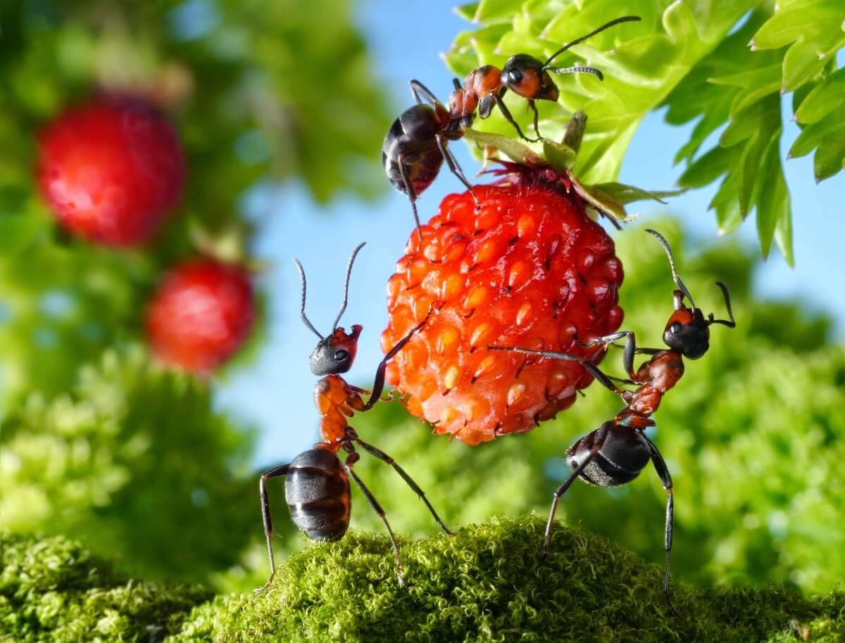 Борьба с муравьями на даче — в арсенале инсектициды и народные средства