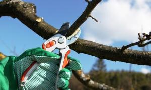 Обрезка дерева с помощью секатора