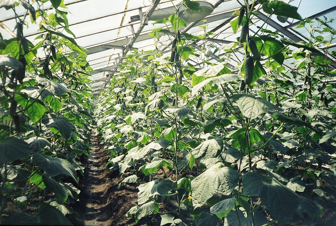 Какие  тепличные сорта огурцов лучше для выращивания