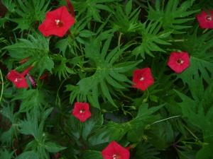 Обильное цветение квамоклита после подкормки