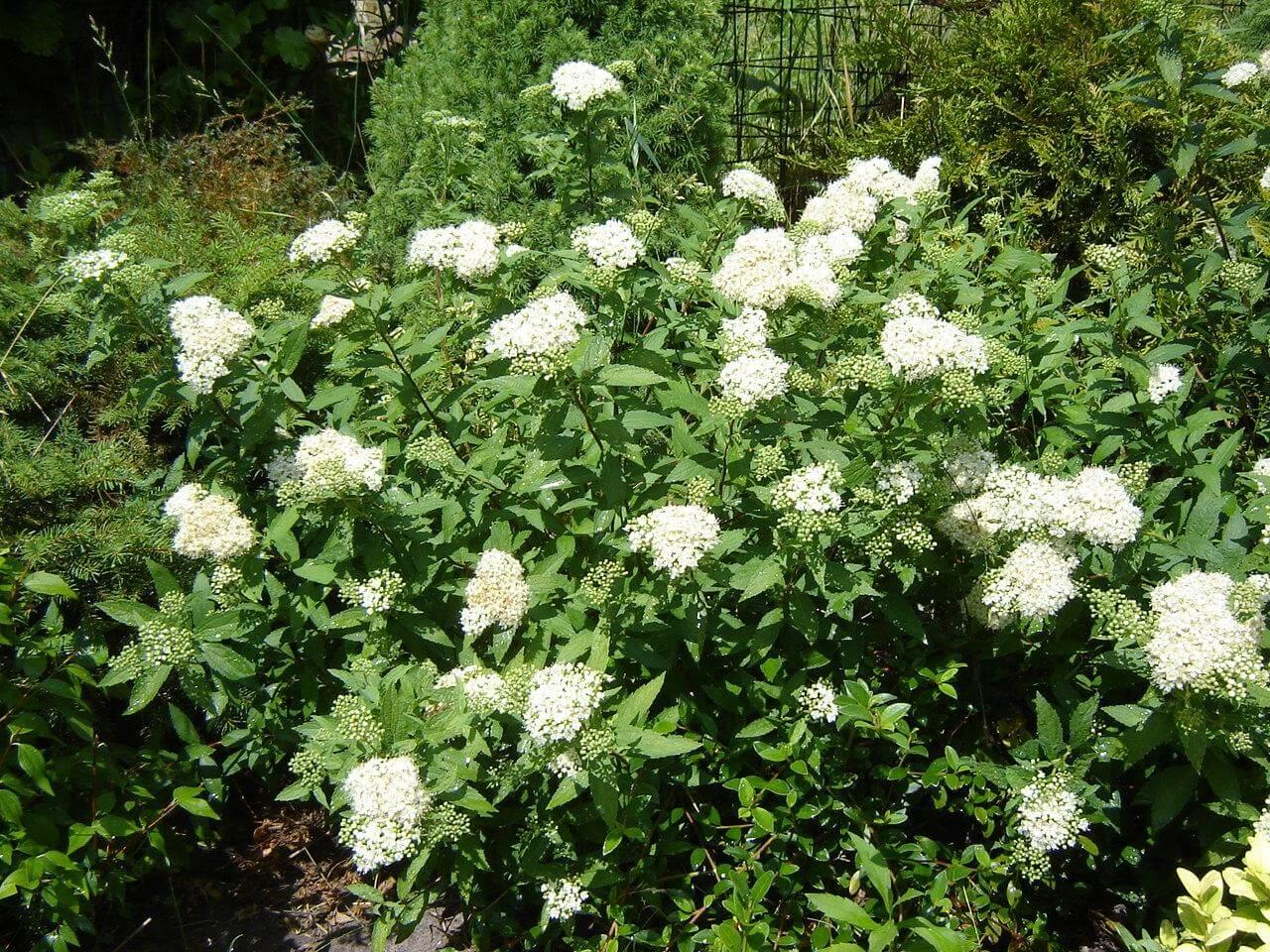 Спирея японская Широбана — рекомендации по уходу и выращиванию