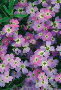 Цветение маттиолы