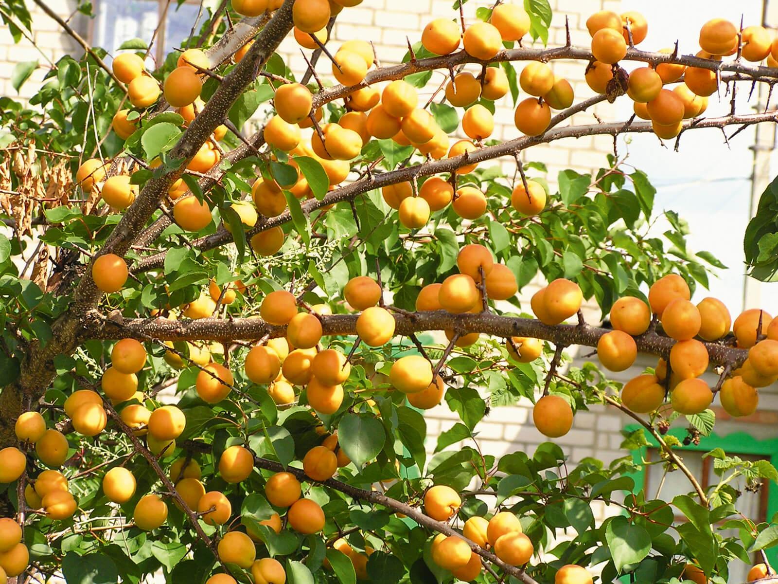 Колоновидный абрикос: особенности, место в саду