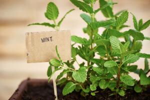 Выращивание мяты в емкости