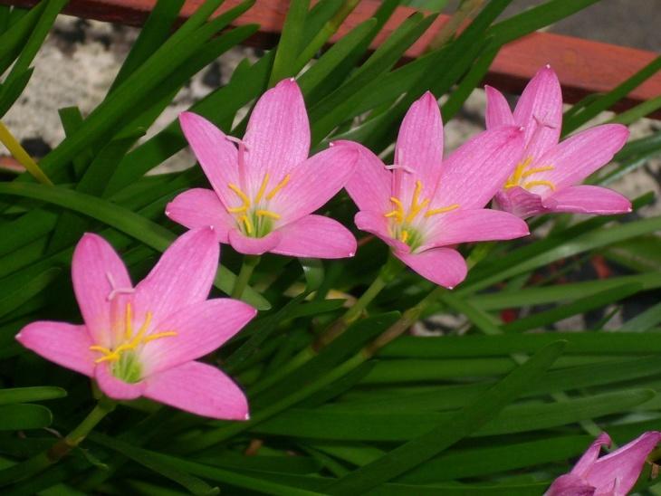 Прекрасное цветение зефирантеса