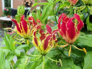 Лат. Gloriosa superba 'Rothschildiana'