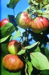 Урожай после подкормки яблони