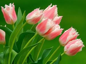 Результаты тюльпанов, выращенных дома