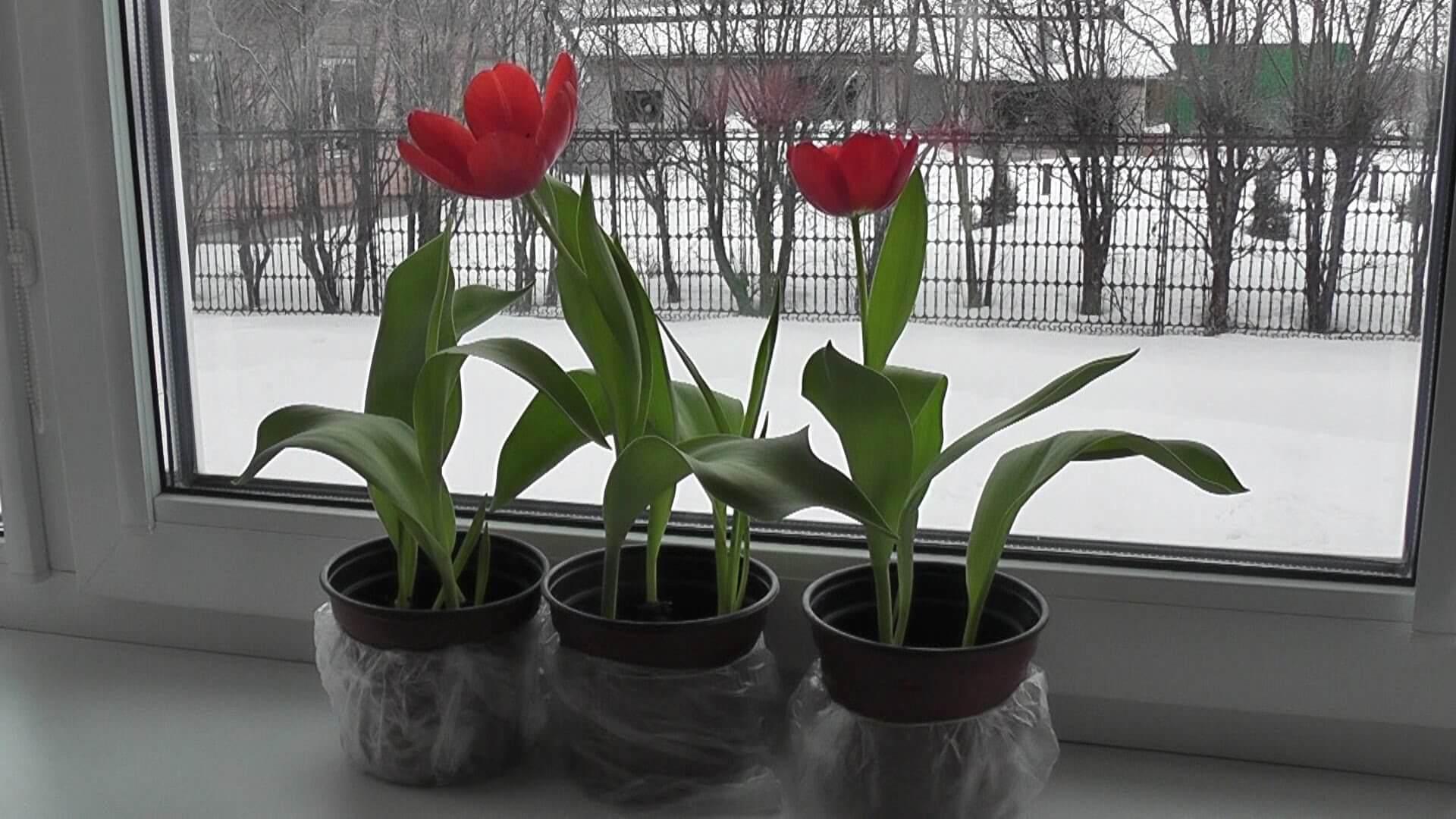 Как выполнить выращивание тюльпанов в домашних условиях