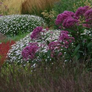 Король осеннего сада: посконник пурпурный