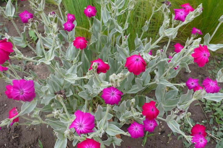 Здоровое цветение лихниса