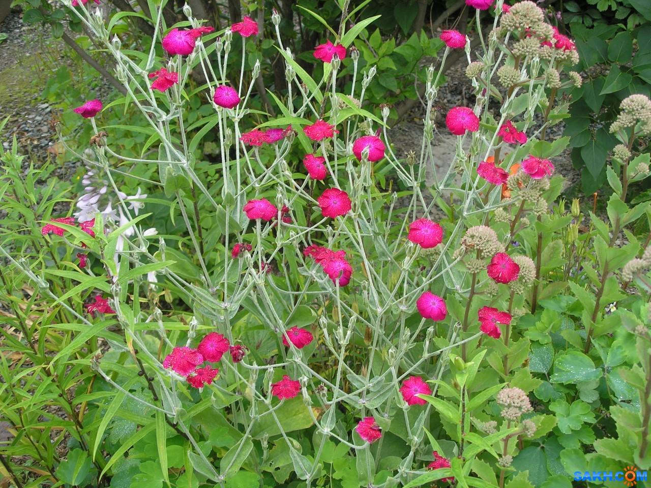Лихнис корончатый: агротехнические приемы выращивания алой зорьки