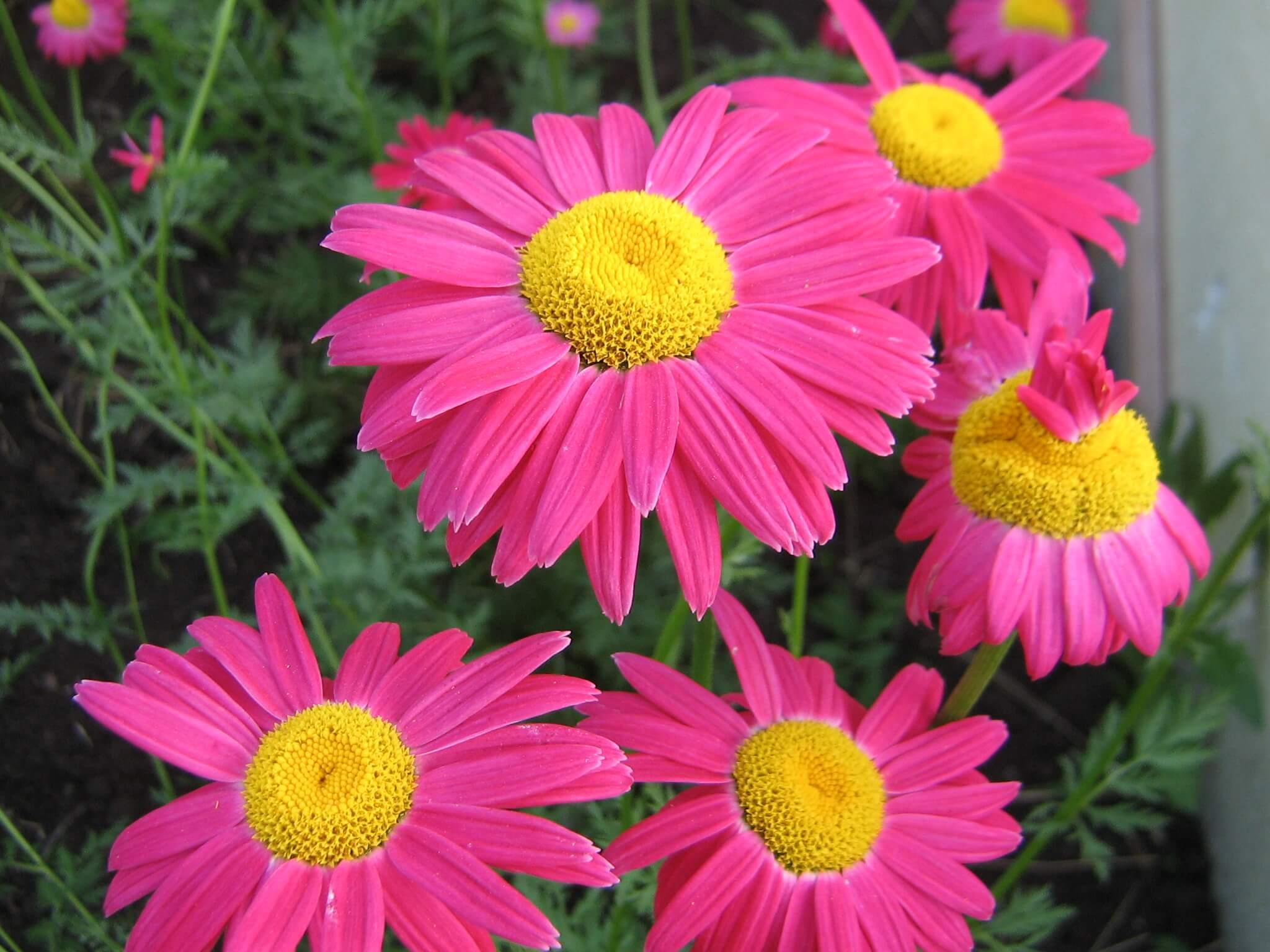 Особенности и правила разведения многолетних садовых цветов, не требующих ухода, их виды