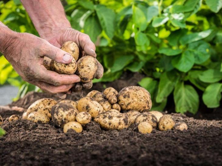 Хороший урожай картофеля