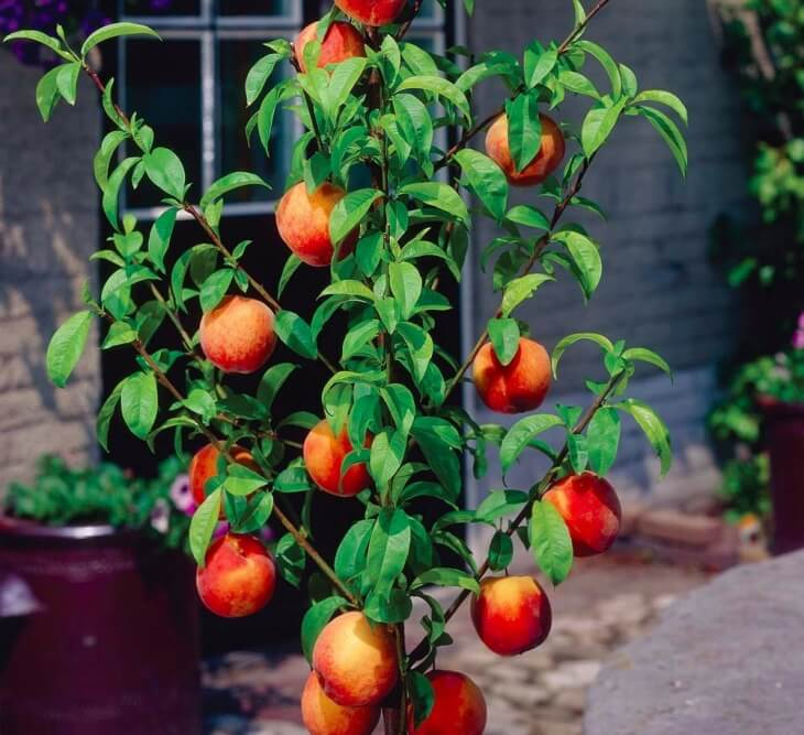 Карликовый персик