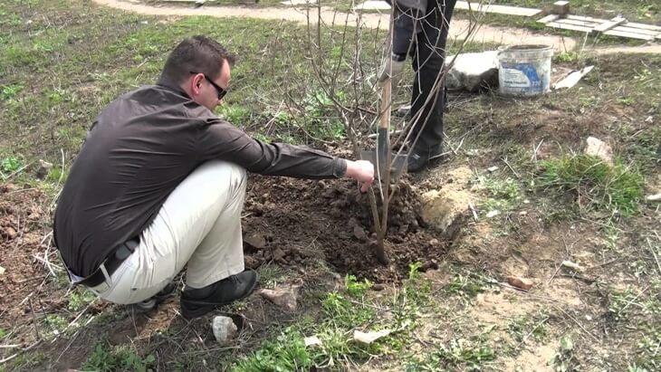 Посадка дерева калины