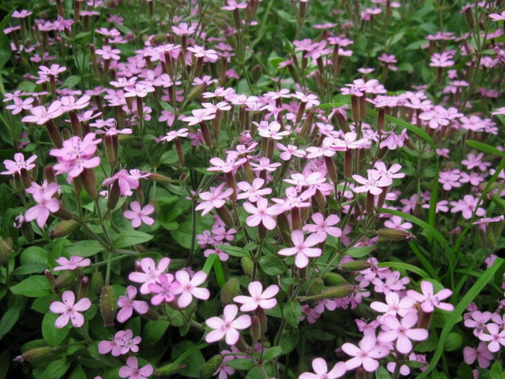 Пышное цветение мыльнянки