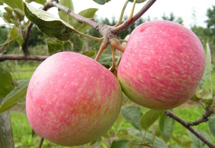 Яблоня боровинка описание и характеристики история сорта выращивание и уход