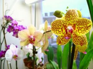 Здоровый цвет орхидеи