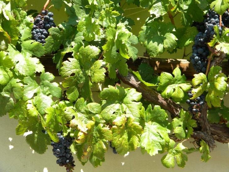 Виноград, выращенный из лозы