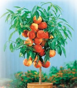 Плодоношение карликового персика