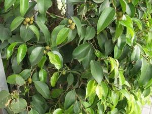 Листья, которые не заражены
