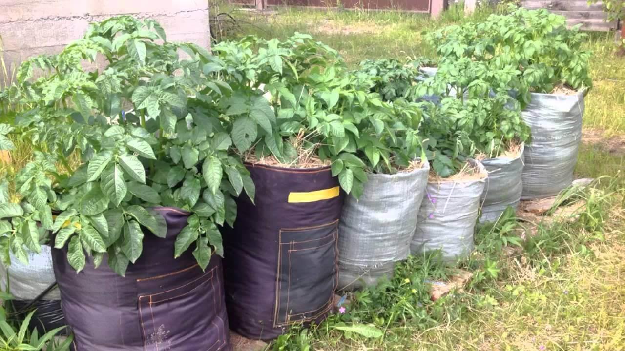 Посадка картофеля в мешках: рекомендации и советы