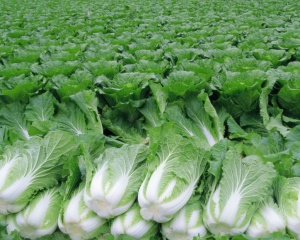 Богатый урожай пекинской капусты